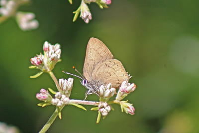 5/31/10 Hedgerow Hairstreak (Satyrium saepium) on California Buckwheat (Eriogonum fasciculatum). Kyle Court, La Cresta, Murrieta, Riverside County, CA