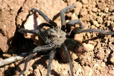 8/12/07 Tarantula (Aphonopelmus reversum). Kyle Court property, La Cresta, Murrieta, SW Riverside County,