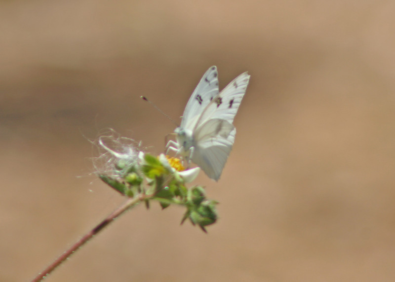 8/1/10 Male Checkered White (Pontia protodice) on Sticky Cinquefoil (Potentilla glandulosa). Kyle Court, La Cresta, Murrieta, Riverside County, CA
