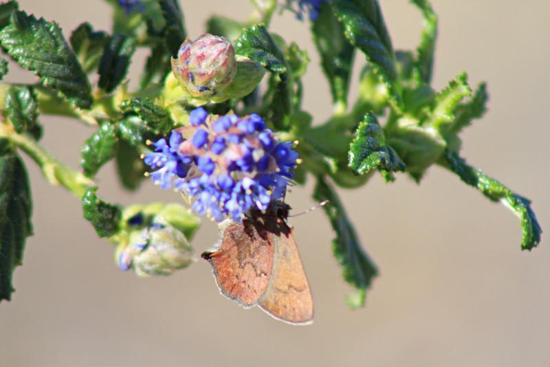 1/30/11 Brown Elfin (Callophrys augustinus) on 'Joyce Coulter' Ceanothus. Kyle Court, La Cresta, Murrieta, Riverside County, CA