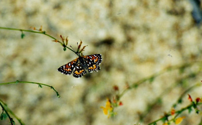 6/3/01 Mormon Metalmark (Apodemia mormo) on Deerweed. Kyle Court property, La Cresta, Murrieta, Riverside County, CA