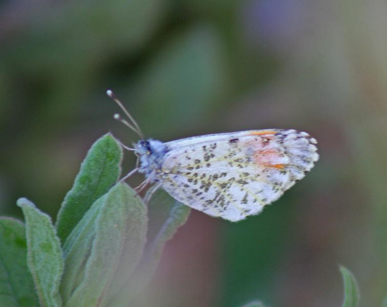 5/8/10 Sara Orangetip (Anthocharis sara). Kyle Court, La Cresta, Murrieta, Riverside County, CA