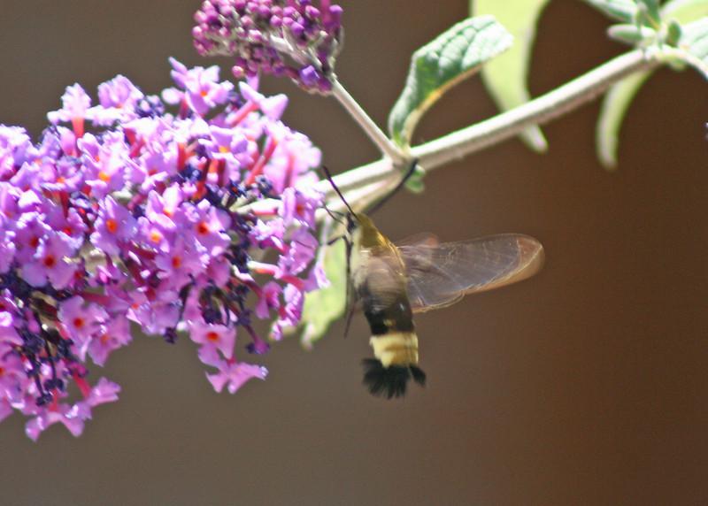 8/13/10 Snowberry Clearwing Hummingbird Moth (Hemaris diffinis) on Butterfly Bush (Buddleia davidii). Kyle Court, La Cresta, Murrieta, Riverside County, CA
