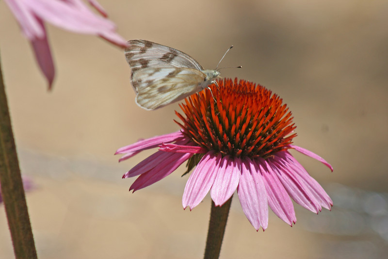 8/1/10 Female Checkered White (Pontia protodice) on Purple Coneflower (Echinacea purpurea). Kyle Court, La Cresta, Murrieta, Riverside County, CA