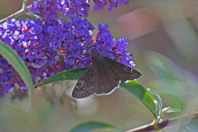 7/31/10 Funereal Duskywing (Erynnis funeralis) on Butterfly Bush (Buddleia davidii). Kyle Court, La Cresta, Murrieta, Riverside County, CA