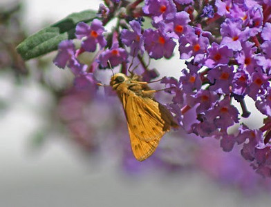 8/22/10 Fiery Skipper (Hylephila phyleus) on Butterfly Bush (Buddleia davidii). Kyle Court, La Cresta, Murrieta, Riverside County, CA