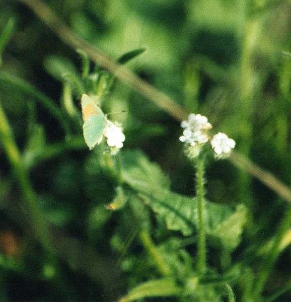 3/31/01 Bramble Green Hairstreak (Callophrys dumetorum). Kyle Court property, La Cresta, Murrieta, Riverside County, CA