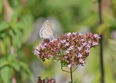 7/31/10 Marine Blue (Leptotes marina) on blossoms of Italian Oregano. Kyle Court, La Cresta, Murrieta, Riverside County, CA