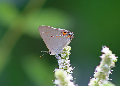 7/31/10 Gray Hairstreak (Strymon melinus) on Apple Mint blossoms. Kyle Court, La Cresta, Murrieta, Riverside County, CA