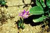 6/3/01 Centaury/Canchalagua (Cenataureum venustum). Kyle Court, La Cresta, Murrieta, Riverside County, CA
