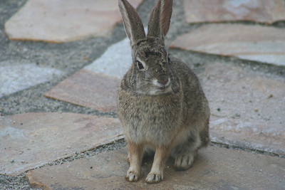 4/22/07 Wascally Wabbit! Cottontail Rabbit, Kyle Court property, La Cresta, Murrieta, SW Riverside County, CA