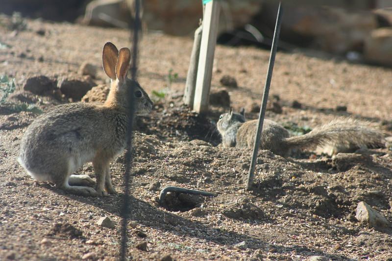4/22/07 Sqwerl vs. Wascally Wabbit! Ground Squirrel & Cottontail Rabbit, Kyle Court property, La Cresta, Murrieta, SW Riverside County, CA