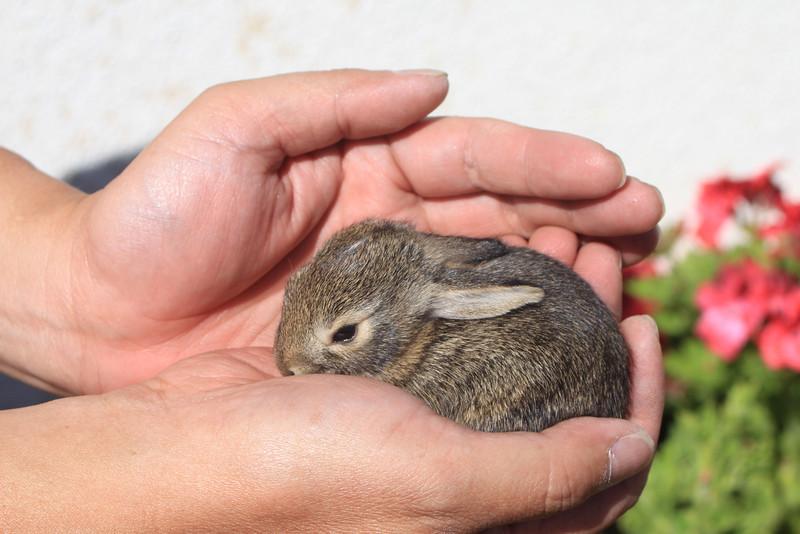 4/16/11 Baby bunny (survivor of the carnage Hana wreaked on their other siblings). Kyle Court, La Cresta, Murrieta. SW Riverside County, CA