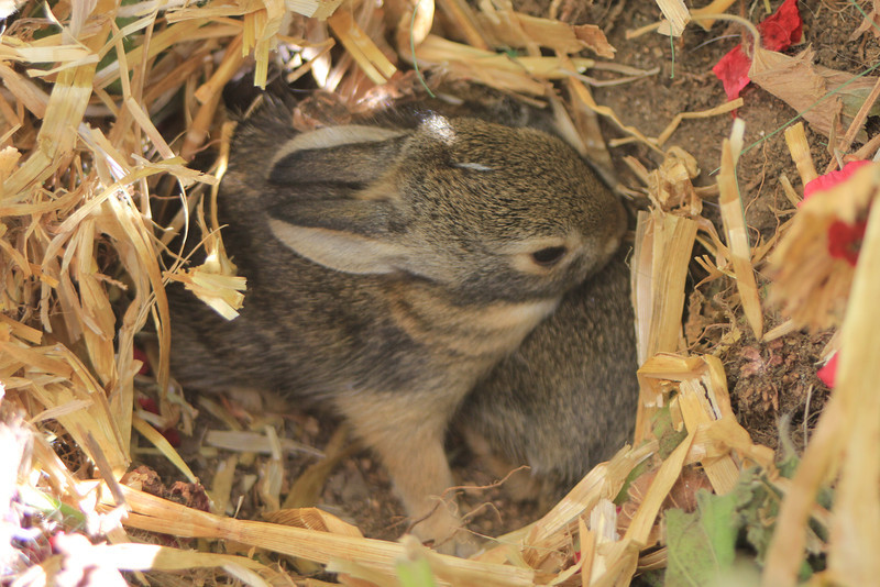 4/16/11 Two baby bunnies (survivors of the carnage Hana wreaked on their other siblings). Kyle Court, La Cresta, Murrieta. SW Riverside County, CA