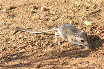 5/27/11 Merriam Kangaroo Rat? (Dipodomys merriami). Kyle Court, La Cresta, Murrieta. SW Riverside County, CA