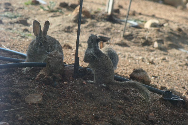 4/22/07 Sqwerl vs. Wascally Wabbit! Ground Squirrel & Cottontail Rabbit, Kyle Court property, La Cresta, Murrieta, SW Riverside County, CA