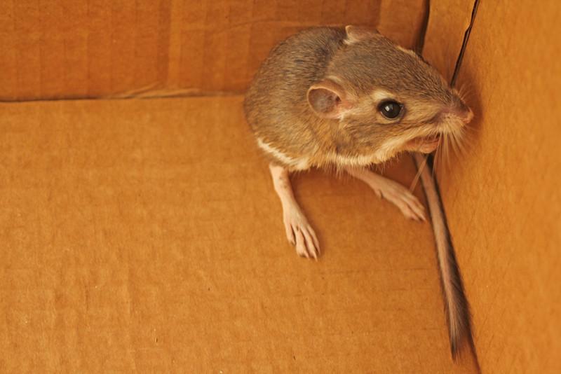 5/27/11 Merriam Kangaroo Rat? (Dipodomys merriami). Kyle Court, La Cresta, Murrieta. SW Riverside County, CA