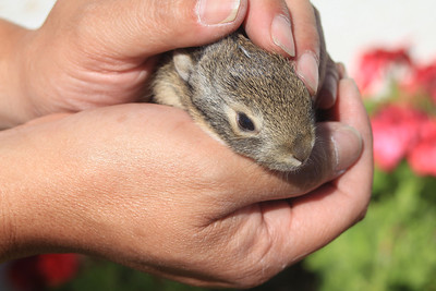 4/16/11 Baby bunny (survivor of the carnage Hana wreaked on their other siblings). Kyle Court, La Cresta, Murrieta. SW Riverside County, CA