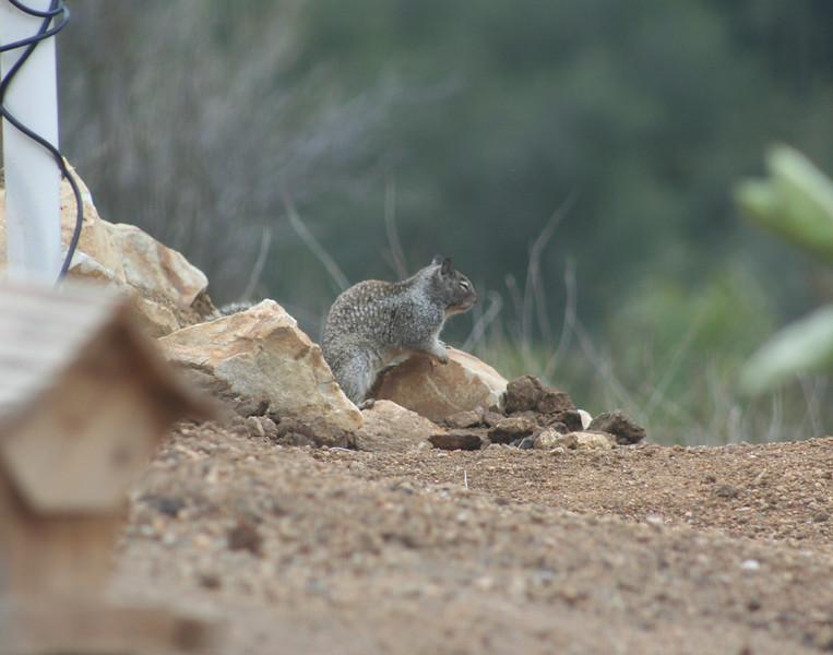 2/19/07 California Ground Squirrel, taking a power nap. Kyle Court property, La Cresta, Murrieta, SW Riverside County, CA