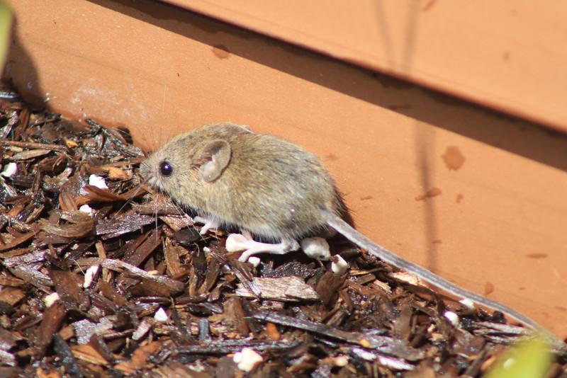 6/17/11 Harvest Mouse or Deer Mouse? Kyle Court, La Cresta, Murrieta. SW Riverside County, CA