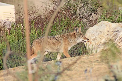 12/24/10 Coyote. Kyle Court, Murrieta, Riverside County, CA