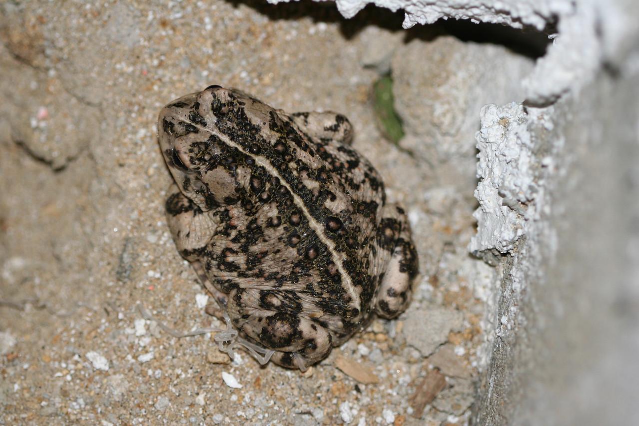 6/27/06 Western Toad. Kyle Court property, La Cresta, Murrieta, Riverside County, CA