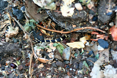 6/29/08 Tail end of California King Snake (Lampropeltis getula californiae). In compost pile, Kyle Court, La Cresta, Murrieta, SW Riverside County, CA
