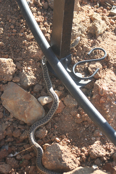 3/17/07 San Diego Gopher Snake? (Pituophis catenifer annectins). Kyle Court property, La Cresta, Murrieta, SW Riverside County, CA