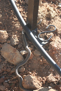 3/17/07 San Diego Gopher Snake? (Pituophis catenifer annectins). Kyle Court property, La Cresta, Murrieta, SW Riverside County, CA