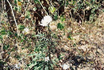 7/4/97 Malacothrix sp. La Jolla Valley Loop Trail, Santa Monica Mountains Recreation Area,Ventura County, CA