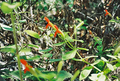 7/4/97 Scarlet Monkeyflower (Mimulus cardinalis). La Jolla Valley Loop Trail, Santa Monica Mountains National Recreation Area, Ventura County, CA