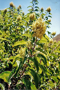 7/4/97 Laurel Sumac (Malosma laurina). La Jolla Valley Loop Trail, Santa Monica Mountains Recreation Area,Ventura County, CA