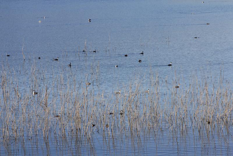 12/11/10 Western Grebes (Aechmophorus occidentalis) off levee at Lake Elsinore. Palomar Audubon outing w/Julie Szabo. Riverside County, CA