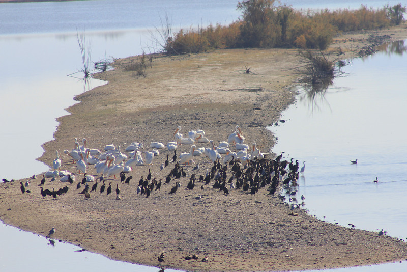 12/11/10 American White Pelicans (Pelecanus erythrorhynchos) and Double-Crested Cormorants. Spit off levee at Lake Elsinore. Palomar Audubon outing w/Julie Szabo. Riverside County, CA