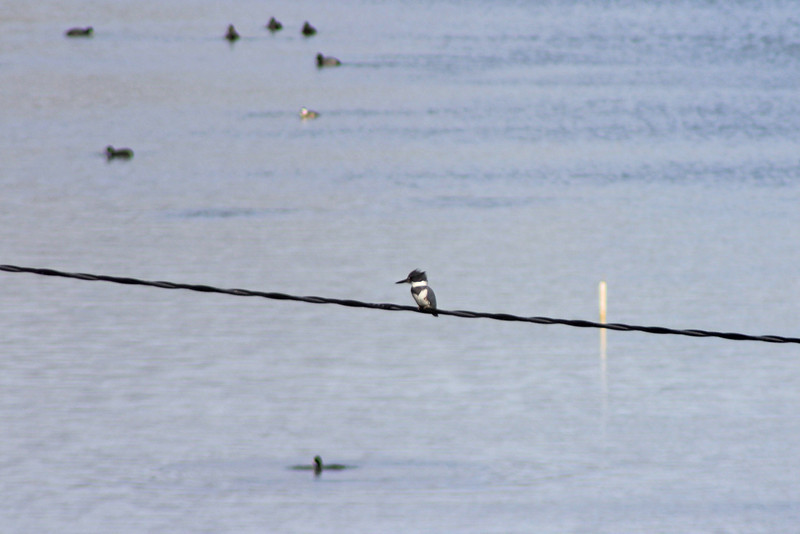 12/11/10 Male Belted Kingfisher (Cerlye alcyon). Wetlands at Lake Elsinore. Palomar Audubon outing w/Julie Szabo. Riverside County, CA