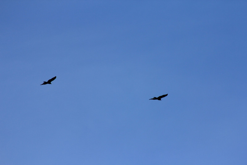 12/11/10 Turkey Vultures (Cathartes aura). Overhead at end of levee. Lake Elsinore. Palomar Audubon outing w/Julie Szabo. Riverside County, CA