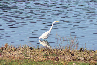 12/11/10 Great Egret (Ardea alba) off levee at Lake Elsinore. Palomar Audubon outing w/Julie Szabo. Riverside County, CA