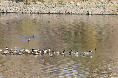 12/11/10 A jumble of Northern Shovelers, Gadwalls, Black-Necked Stilts and American Coots. Levee at Lake Elsinore. Palomar Audubon outing w/Julie Szabo. Riverside County, CA