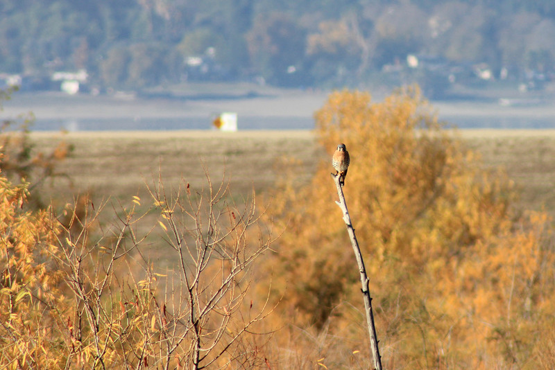 12/11/10 American Kestrel (Falco sparverius). Levee at Lake Elsinore. Palomar Audubon outing w/Julie Szabo. Riverside County, CA
