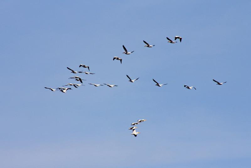 12/11/10 American White Pelicans (Pelecanus erythrorhynchos) flight. Levee at Lake Elsinore. Palomar Audubon outing w/Julie Szabo. Riverside County, CA