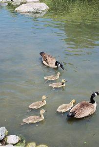 May 2004. Canada Geese (Branta canadensis). Los Angeles County Arboretum, Arcadia, CA