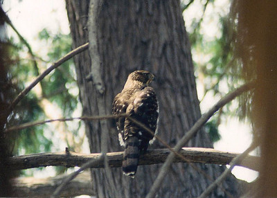 8/4/02 Sharp-Shinned Hawk (Accipiter striatus)? Looks more like a Sharp-Shinned than a Cooper's, so that's my best guess. Los Angeles County Arboretum, Arcadia, CA.