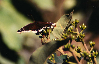 February 2002. Bordered Patch (Chlosyne lacinia). Los Angeles County Arboretum, CA