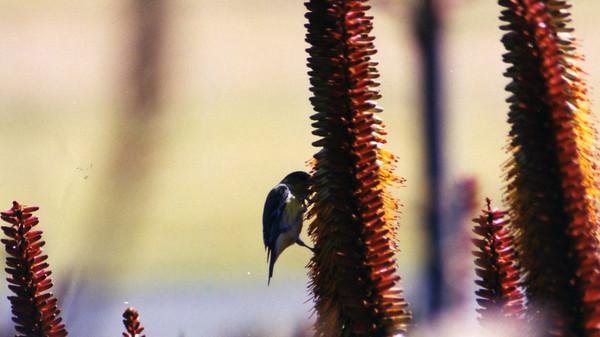 2/9/02 Yellow-rumped Warbler (Dendroica coronata). Los Angeles County Arboretum, Arcadia, CA