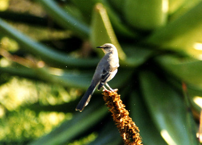 2/2/02 Northern Mockingbird (Mimus polyglottos). Los Angeles County Arboretum, Arcadia, CA