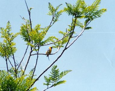 5/25/02 Hooded Oriole (Icterus cucullatus). Los Angeles County Arboretum, Arcadia, CA