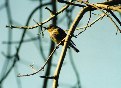 2/2/02 Yellow-rumped Warbler (Dendroica coronata). Los Angeles County Arboretum, Arcadia, CA
