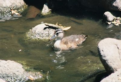 May 2004. Mallard duckling (Anas platyrhynchos). Los Angeles County Arboretum, Arcadia, CA