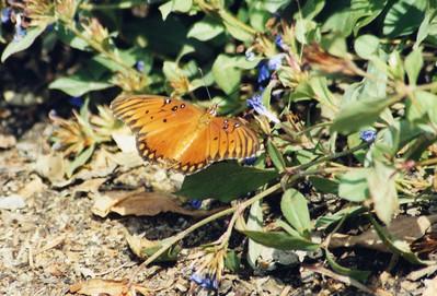 7/27/02 Gulf Fritillary (Agraulis vanillae). Los Angeles County Arboretum, LA County, CA