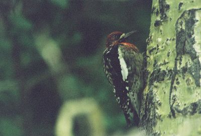 8/16/04 Red-Breasted Sapsucker (Sphyrapicus ruber). Lundy Canyon, Eastern Sierra, Mono County, CA